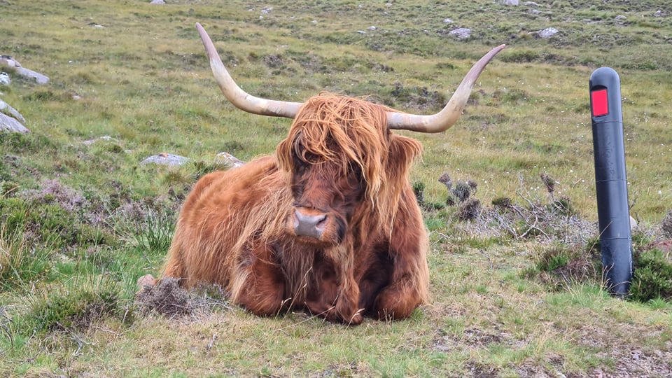 a shaggy heilan coo with very large horns