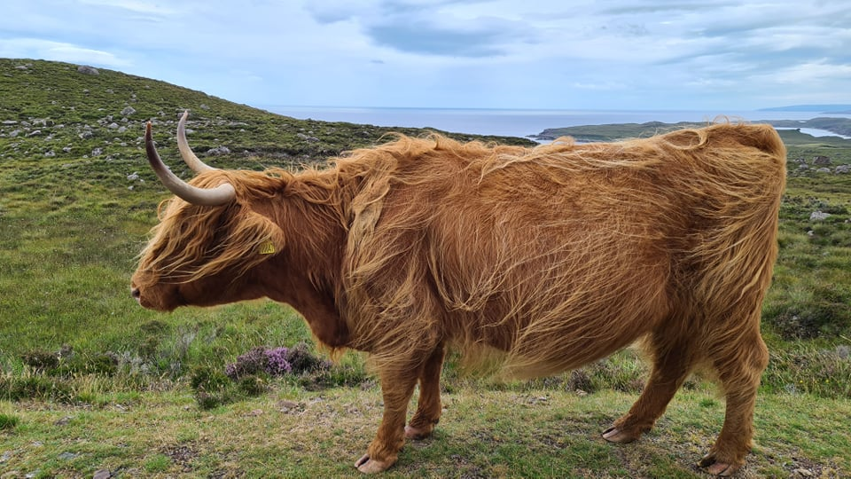 beautiful heilan coo from the side