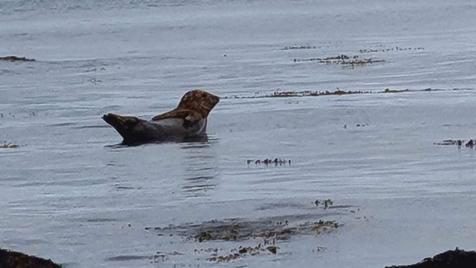 A wild seal doing a banana pose